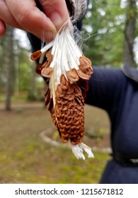 A female woman holding an opened pod of wild milkweed (Asclepias) seeds, Michigan