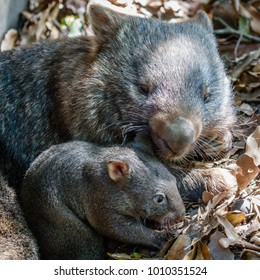 Female wombat with her joey, Queensland, Australia. Square image