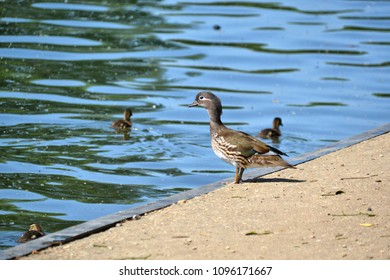 female wood duck Aix sponsa with ducklings in the background in Spring ( also known as Carolina duck )