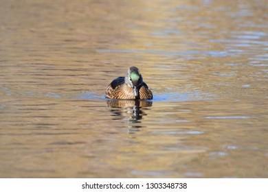Female wood duck looking down