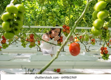 Female Worker Harvesting Tomatoes In Greenhouse
