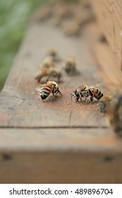 Female Worker Honey Bees Cleaning Wooden Hive Entrance On A Farm In The Mountains Of North East Tennessee