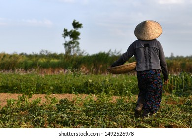 Female worker on a peanut field close to UNESCO city of Hoi An, Central Vietnam