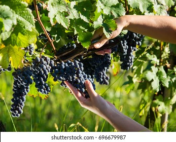 Female worker picking ripe grapes
