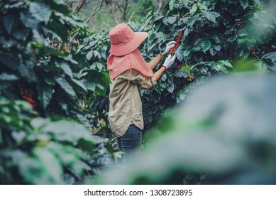 Female workers working in a coffee plantation agriculture, coffee garden.