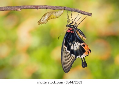 Female yellow body Great mormon Butterfly resting on twig after emerged from cocoon