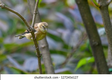 Female Yellow Goldfinch, a common bird,  perched on a branch in a dense light green and brown vegetation. Trois-Rivières, Québec, Canada.