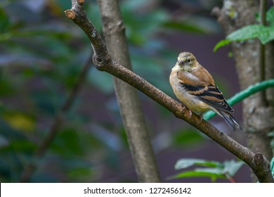 Female Yellow Goldfinch, a common bird,  perched on a branch in a dense and dark green and brown vegetation. Trois-Rivières, Québec, Canada.