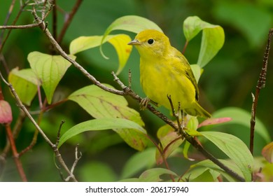 Female Yellow Warbler perched on a branch.