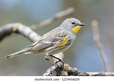 A female Yellow-rumped Warbler perched on a branch