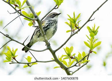 Female Yellow-rumped Warbler perched on a branch. Ashbridges Bay Park, Toronto, Ontario, Canada.