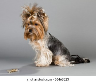 Female Yorkshire terrier sitting on a gray background. Not isolated.