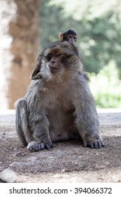 female with young Barbary Ape, Macaca Sylvanus, Atlas Mountains, Morocco