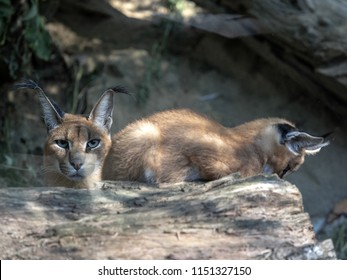 Female with young Caracal, Caracal caracal