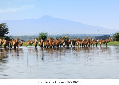 Females Waterbuck on the Naivasha Lake Island, Kenya