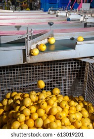 Femminello lemons in one of the container just after the calibrating process