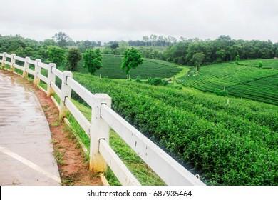 fence and grass on tea farm in the rainy season.
