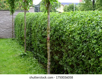 fence green hedge trimmed in the garden yard lawn trees in row alley evergreen edge round