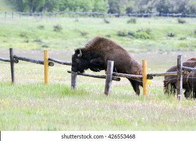 fence jumping bison