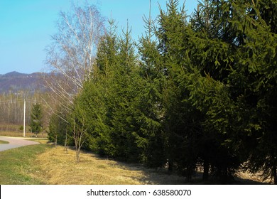 fence of pine trees. trees in a row. Christmas tree. road in the mountains, The Pinophyta, also known as Coniferophyta or Coniferae, or commonly as conifers, are a division of vascular land plants con
