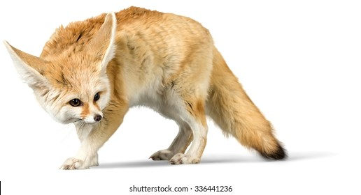 Fennec Fox - Isolated