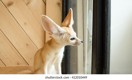 Fennec fox look out to the windows.