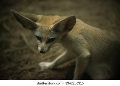 Fennec Fox Vulpes zerda Close-up shot of a large ears