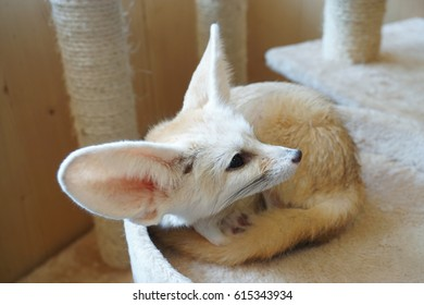 Fennec fox or fennec (vulpes zerda) is a small nocturnal fox found in the Sahara of North Africa. Their large ears, which are likely the first thing most people notice, help them stay cool.