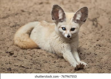 Fennec fox (Vulpes zerda). Wildlife animal.