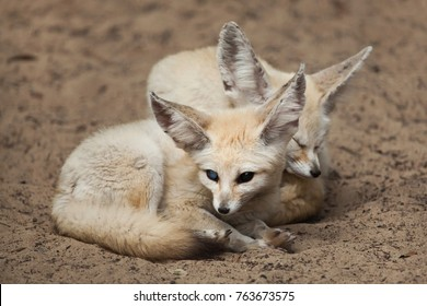 Fennec foxes (Vulpes zerda). Wildlife animal.