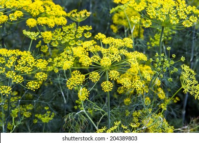 fennel bloom in mid-summer