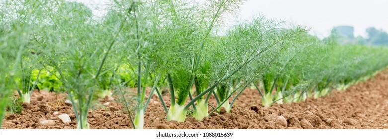 Fennel Bulb in garden bed.  Annual fennel, Foeniculum vulgare azoricum. Florence or bulbing fennel. Banner Gardening  background