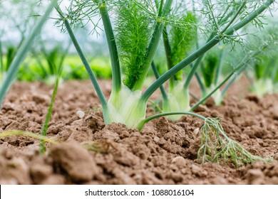 Fennel Bulb in garden bed, close up Annual fennel, Foeniculum vulgare azoricum. Florence or bulbing fennel. Gardening  background