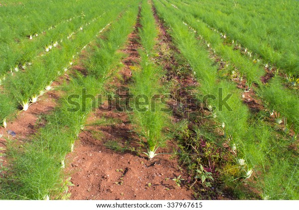 fennel cultivation