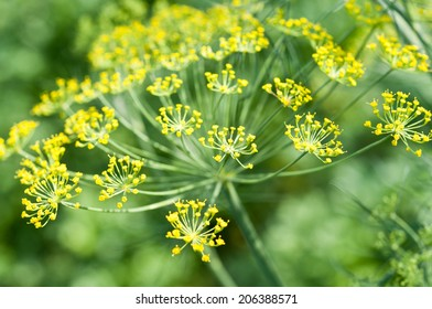 Fennel flowers close up/selective focus