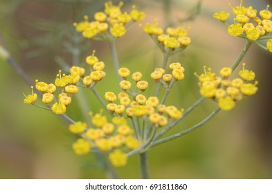 Fennel flowers in macro