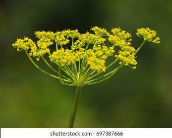 Fennel (Foeniculum vulgare) flower