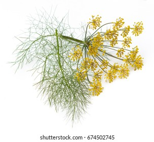 Fennel (Foeniculum vulgare) flowers and leaves isolated on a white background