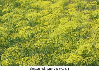 Fennel or Foeniculum vulgare , Wild Fennel