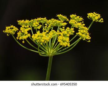 Fennel (Foeniculum vulgare) yellow flower