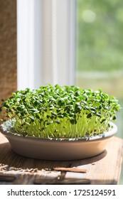Fenugreek Microgreens. Sprossende Microgreens. Trigonella foenum-graecum. Veganisches und gesundes Esskonzept. Verdünntes Fenugreek Samen, Micro Greens. Keime wachsen. Grünes Lebenskonzept. Bio.