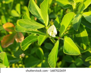 Fenugreek plant in field. Fresh Green Fenugreek Leaves with flower. Green background. It is a most popular Greens and vegetable. Leafy vegetables.