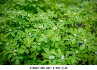 Fenugreek plant in field. Green Fenugreek . Fresh Green Fenugreek Leaves.