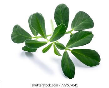 Fenugreek (Trigonella foenum-graecum) leaves . Clipping paths, shadow separated