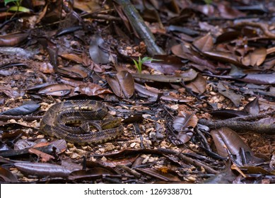 Fer de lance (Bothrops asper) on forest floor in rainforest of Panama waiting for prey. Cryptic coloration increases chances that prey will come within striking distance before discovering danger.