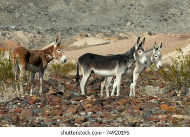 Feral burros in Death Valley National Park