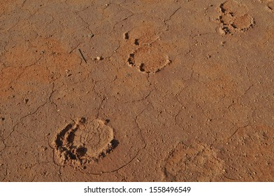 Feral camel tracks in dry lake bed on the Canning Stock Route Western Australia