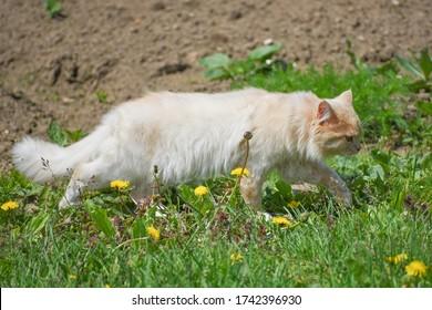 A feral cat hunts mice in the garden