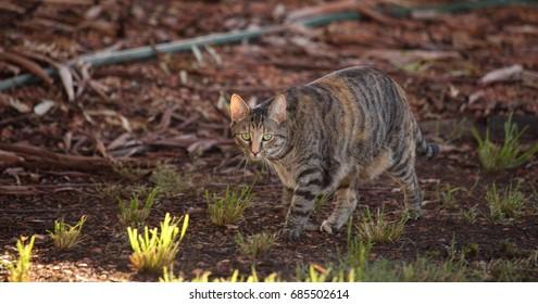A feral cat in outback Australia.