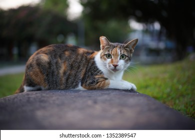 feral cat with right ear tip clipped